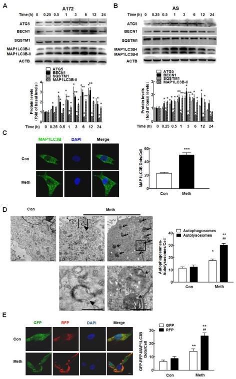 甲基苯丙胺诱导的星形胶质细胞内质网应激并且这种抑制作用是通过mir1